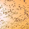 Birds-migration-snippet-1